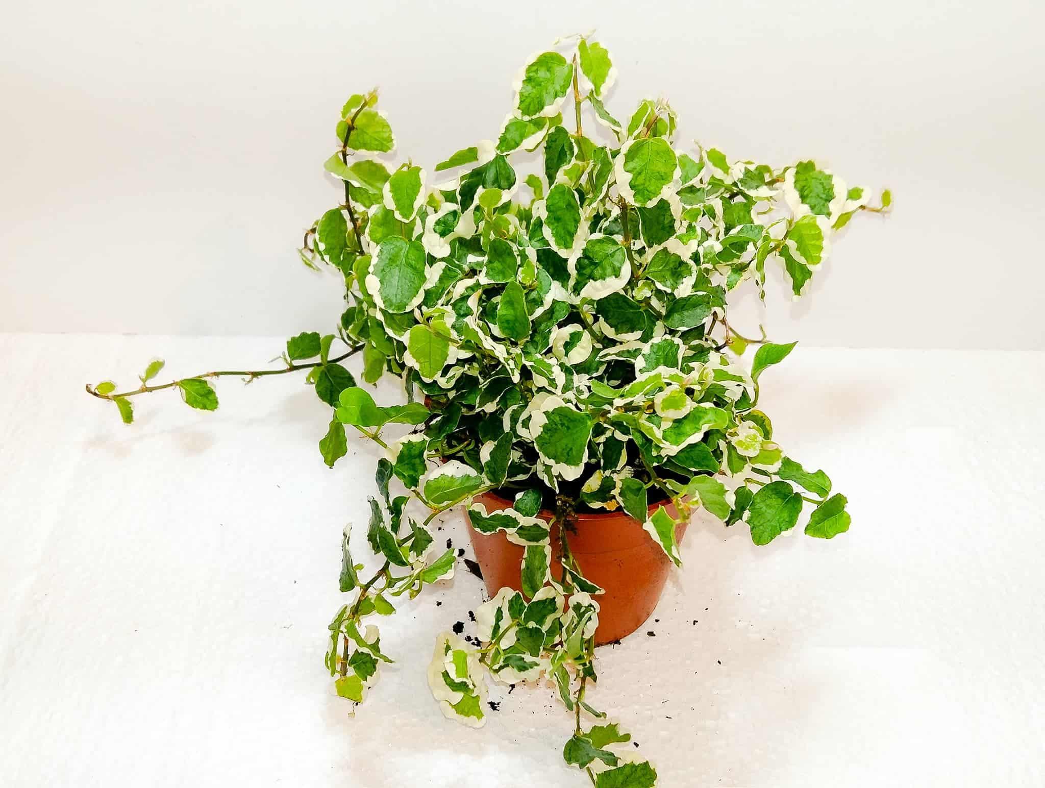 Ficus Pumila 'White Sunny' | Buzzard Reptile