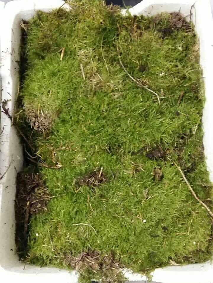 Sheet Moss Buzzard Reptile