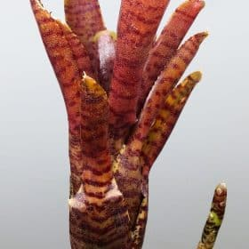 Neoregalia Adonis