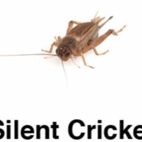 Silent Cricket