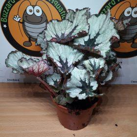 Begonia Rex Sp2